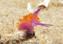 Red Lined Flabellina. Taken November 7 2011. Blairgowrie ... by Rob Peatling